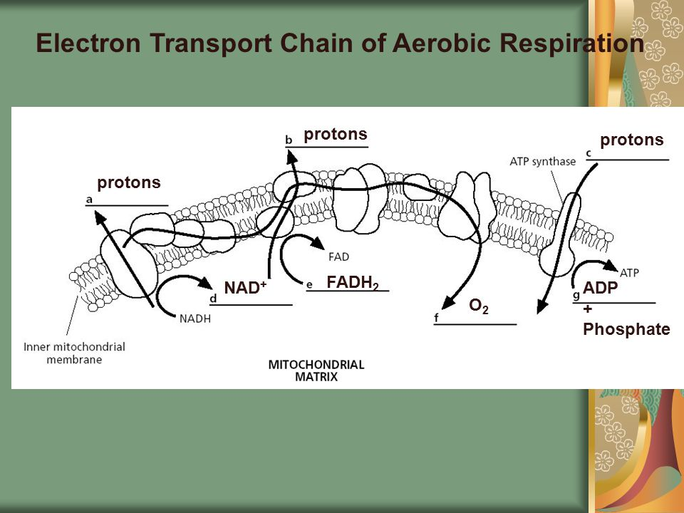Electron Transport Chain of Aerobic Respiration