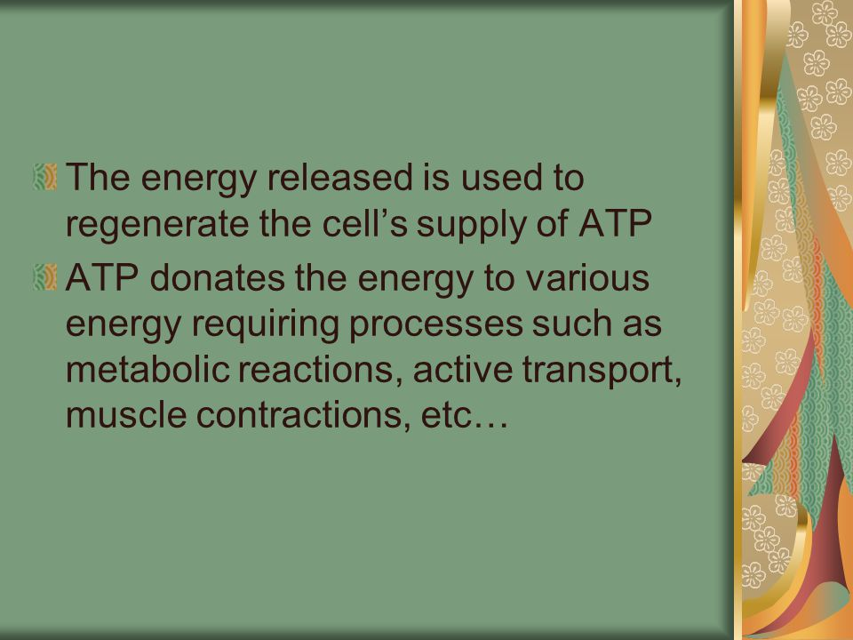 The energy released is used to regenerate the cell's supply of ATP