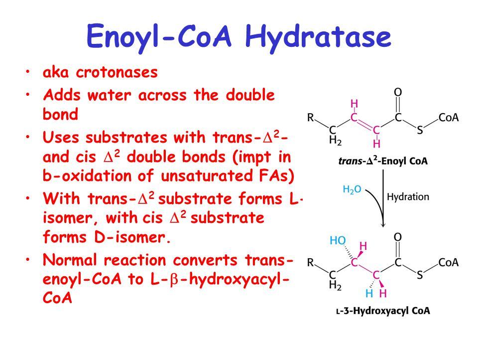 Enoyl-CoA Hydratase aka crotonases Adds water across the double bond