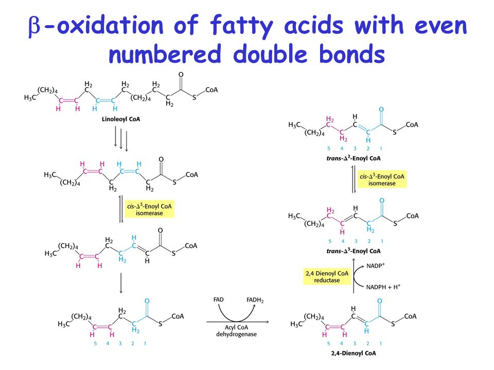 b-oxidation of fatty acids with even numbered double bonds