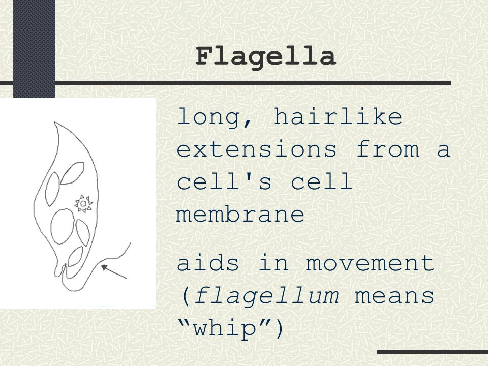 Flagella long, hairlike extensions from a cell s cell membrane