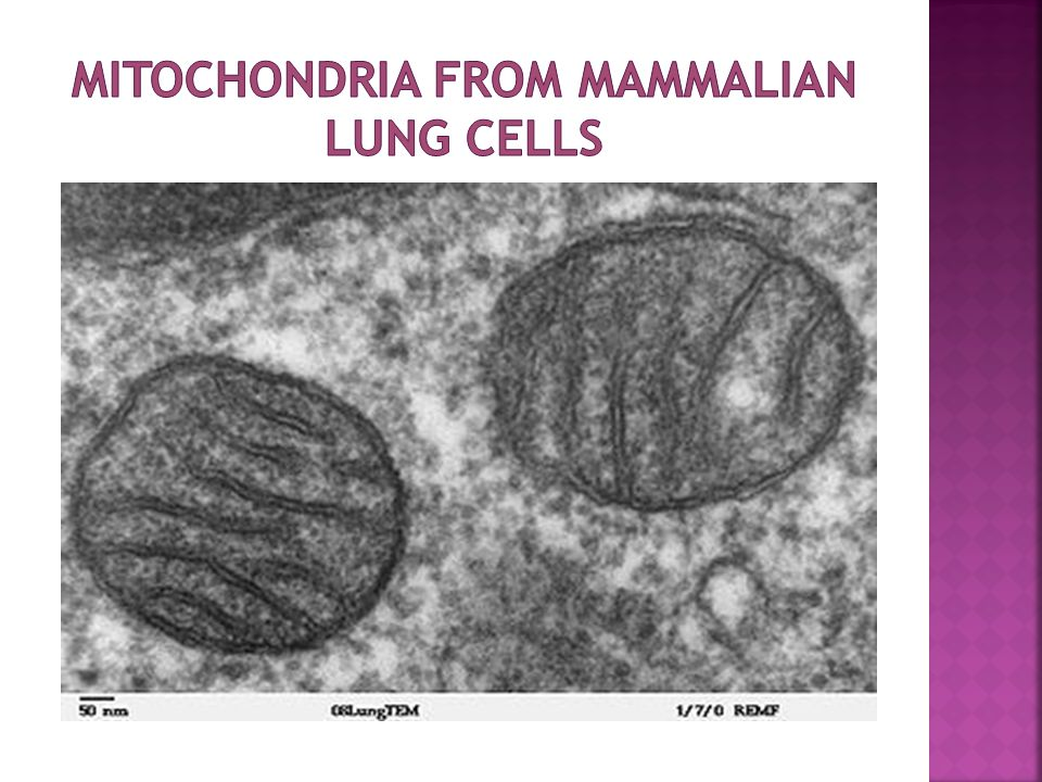 Mitochondria from mammalian lung cells