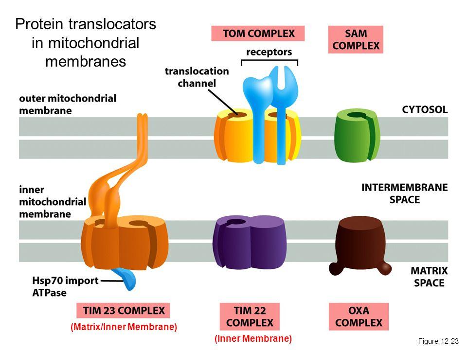 (Matrix/Inner Membrane)