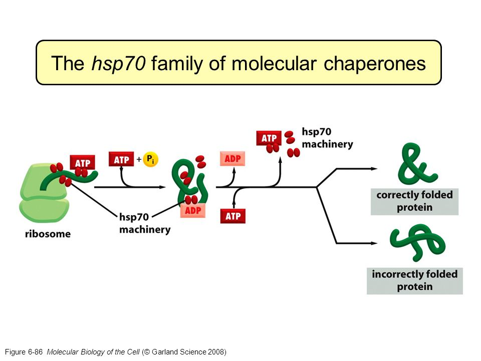 The hsp70 family of molecular chaperones