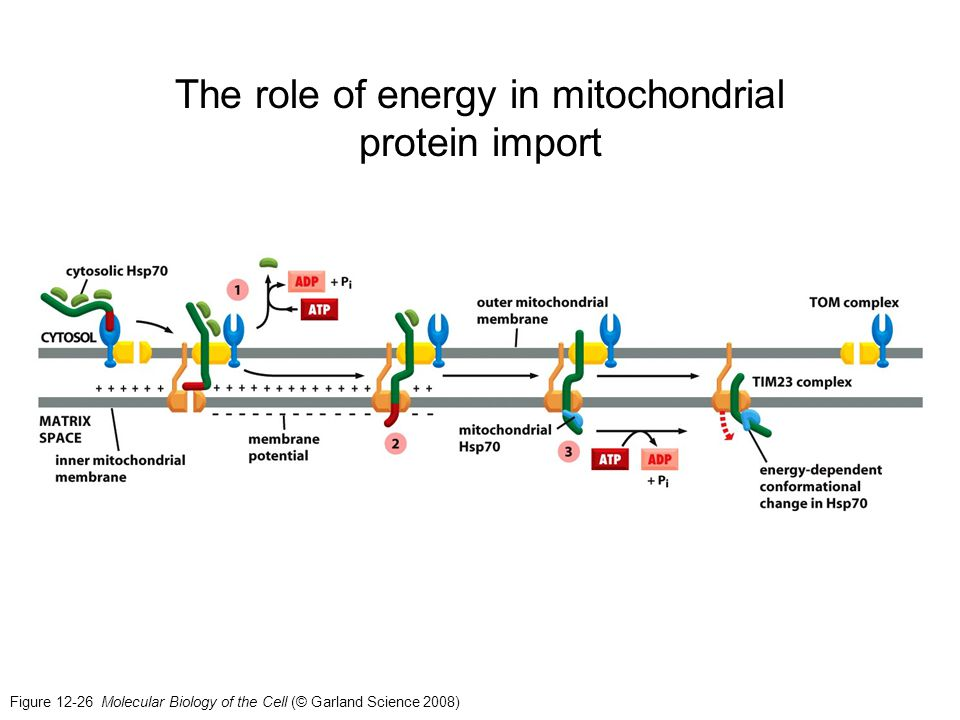 The role of energy in mitochondrial protein import