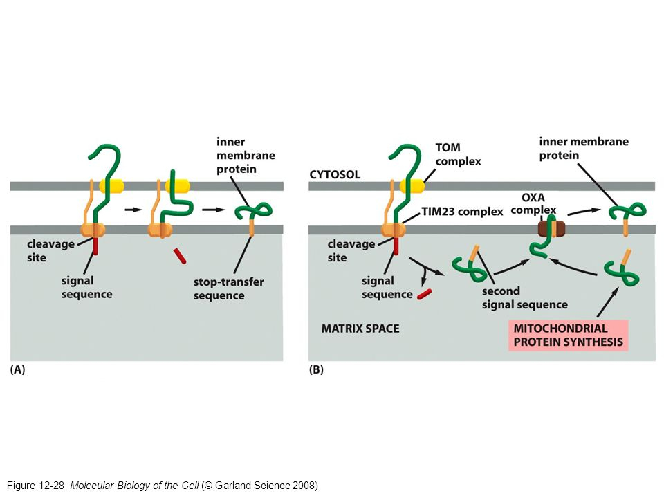 Figure 12-28 Molecular Biology of the Cell (© Garland Science 2008)