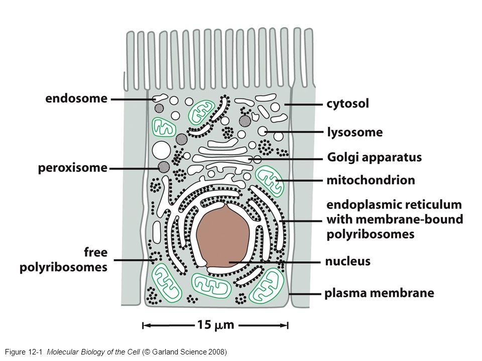 Figure 12-1 Molecular Biology of the Cell (© Garland Science 2008)