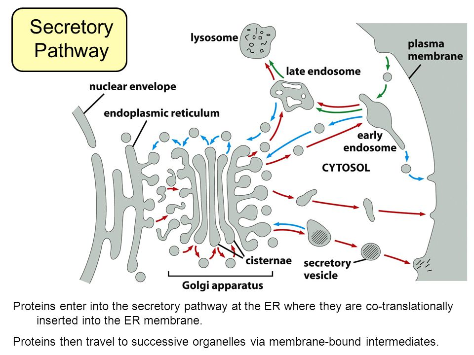 Secretory Pathway Proteins enter into the secretory pathway at the ER where they are co-translationally inserted into the ER membrane.