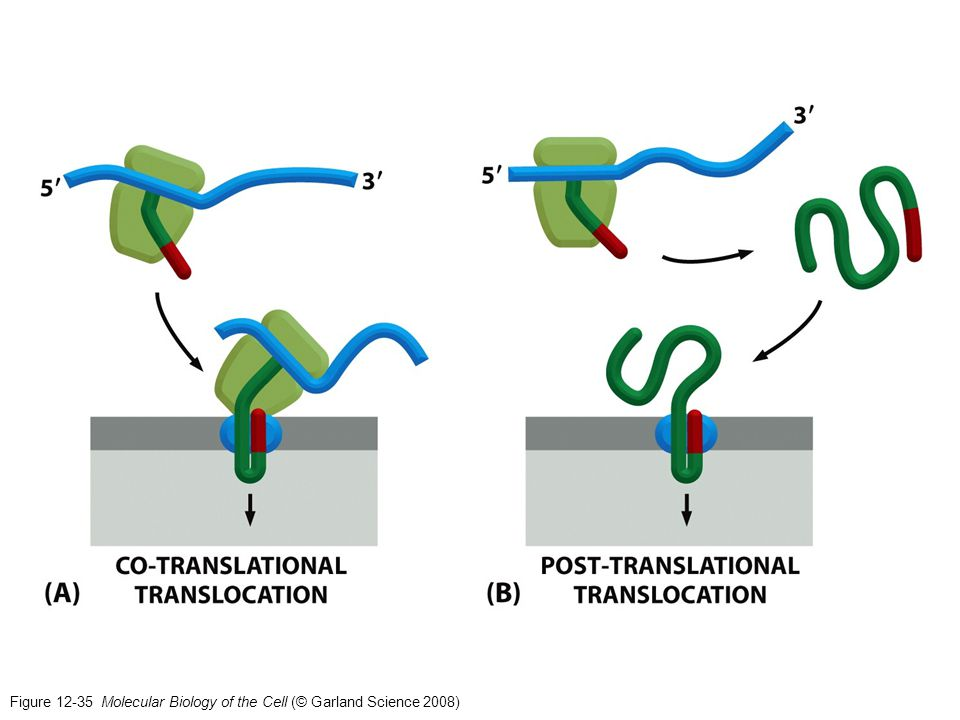 Figure 12-35 Molecular Biology of the Cell (© Garland Science 2008)