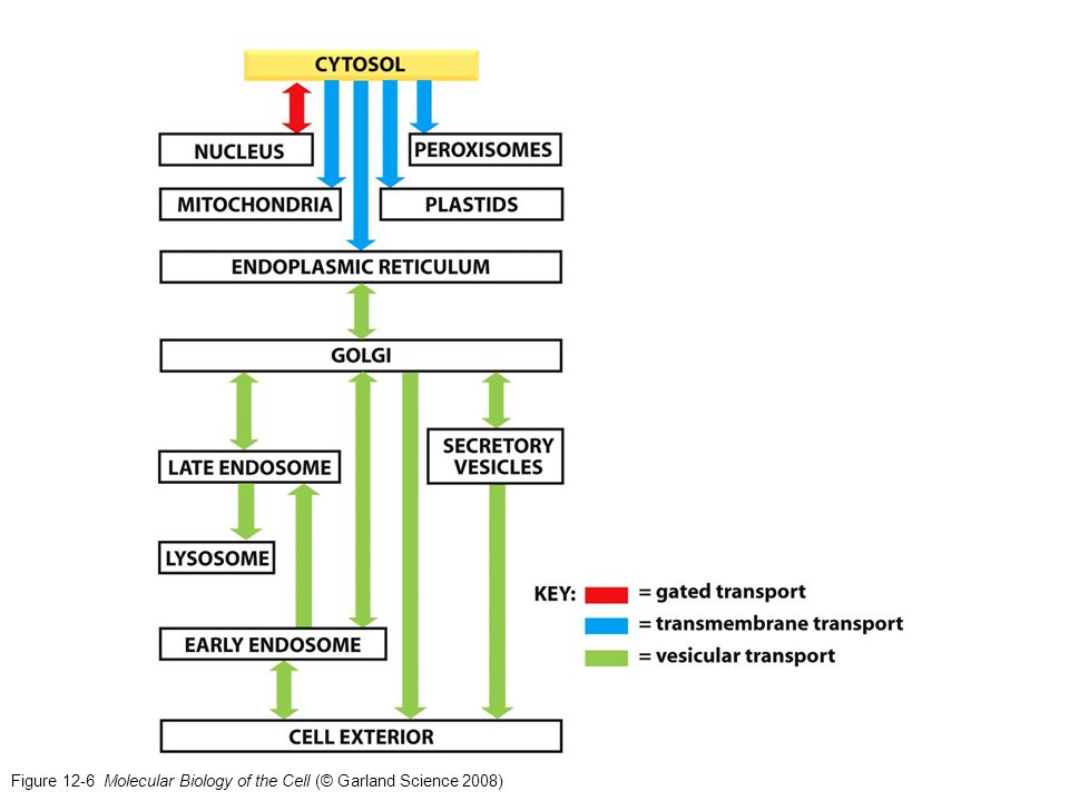Figure 12-6 Molecular Biology of the Cell (© Garland Science 2008)