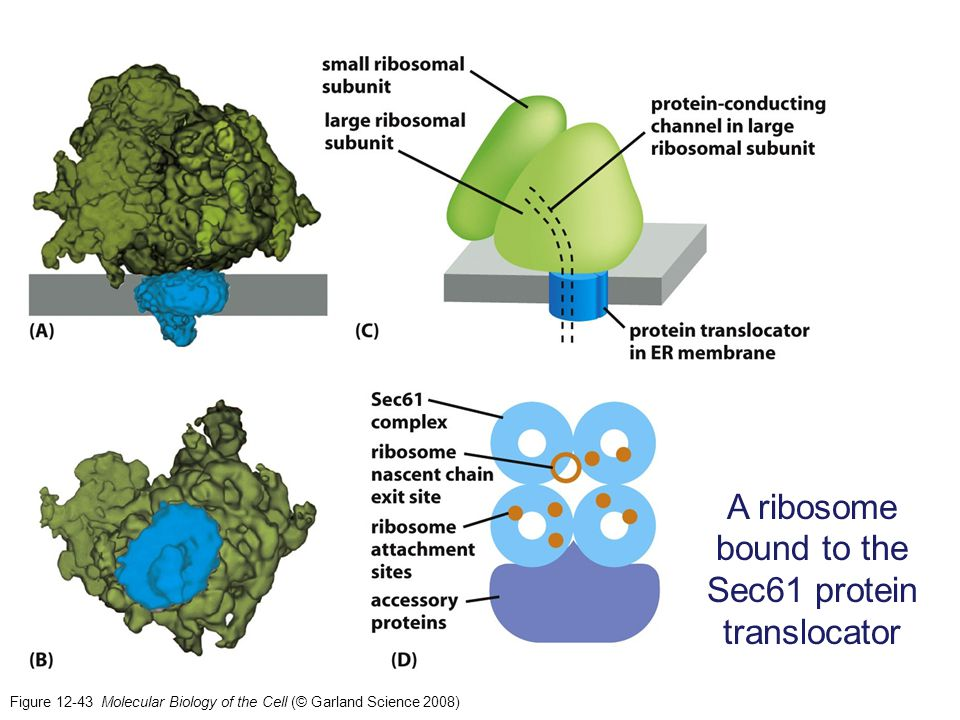 A ribosome bound to the Sec61 protein translocator