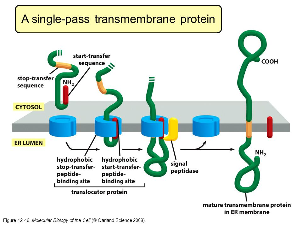 A single-pass transmembrane protein