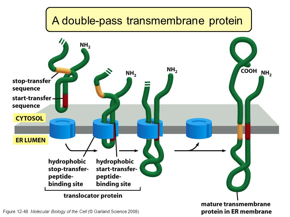 A double-pass transmembrane protein