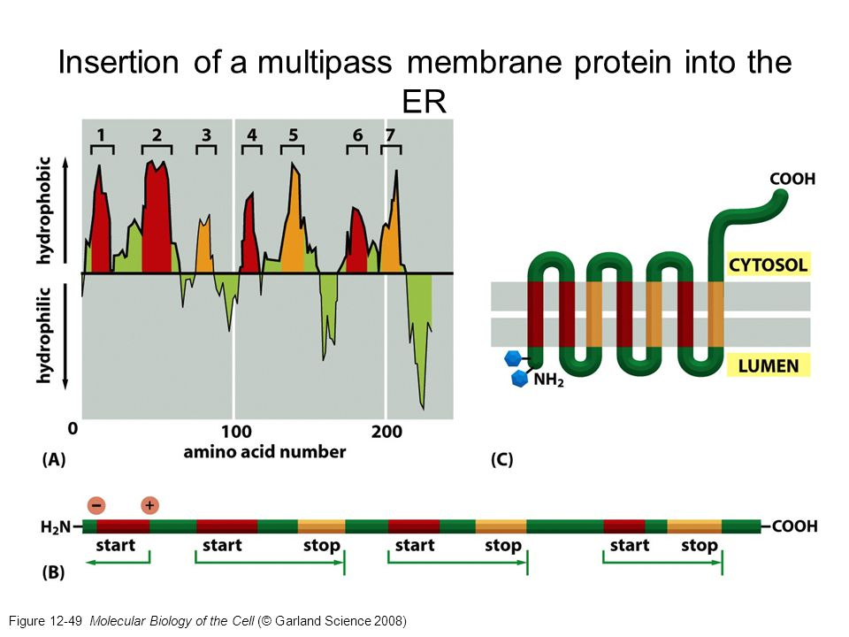 Insertion of a multipass membrane protein into the ER