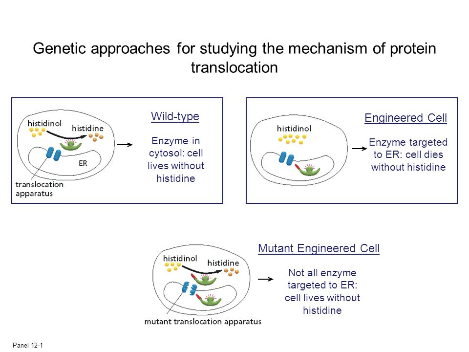 Genetic approaches for studying the mechanism of protein translocation