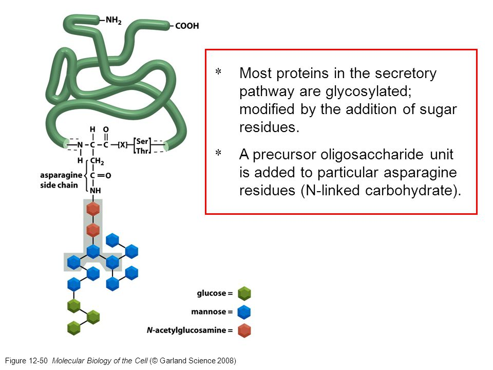 Most proteins in the secretory pathway are glycosylated; modified by the addition of sugar residues.