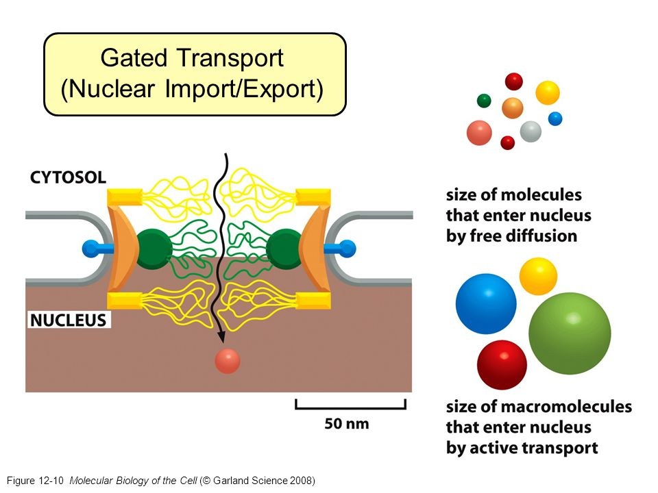 Gated Transport (Nuclear Import/Export)