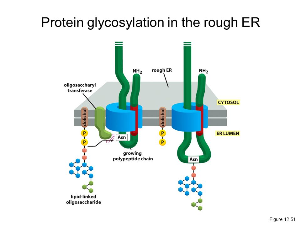 Protein glycosylation in the rough ER