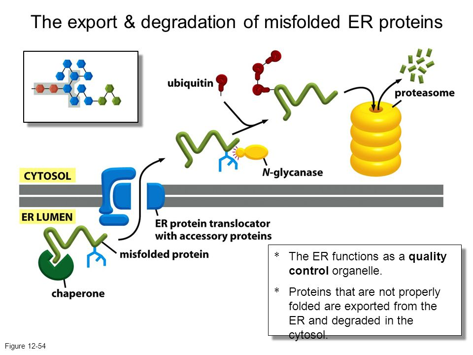 The export & degradation of misfolded ER proteins