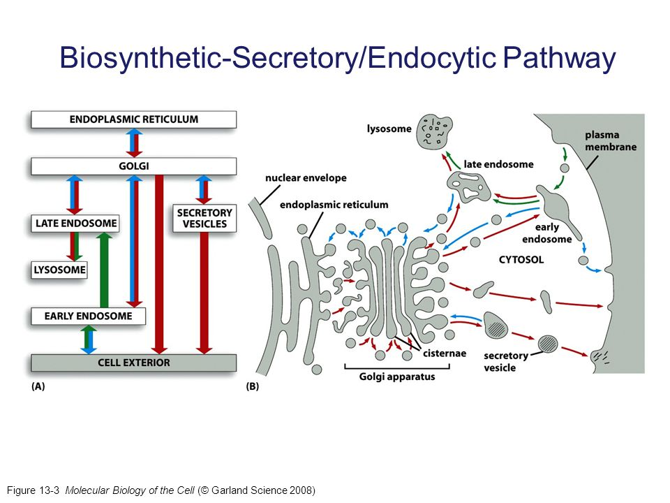 Biosynthetic-Secretory/Endocytic Pathway