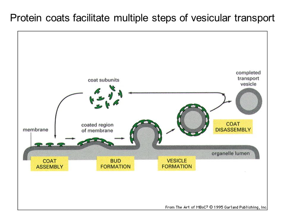 Protein coats facilitate multiple steps of vesicular transport