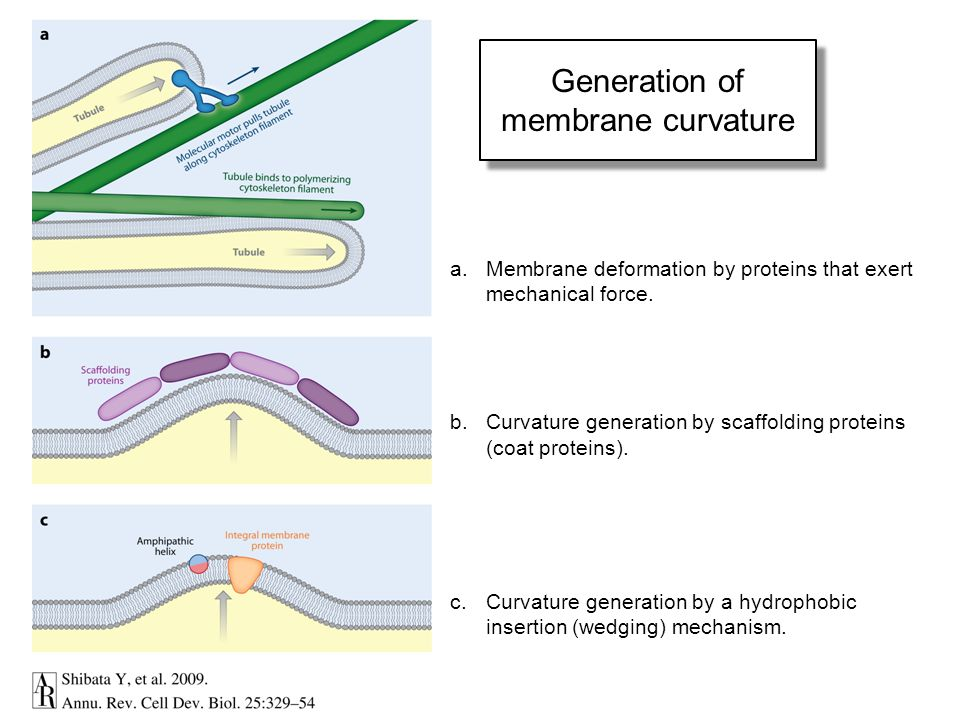 Generation of membrane curvature