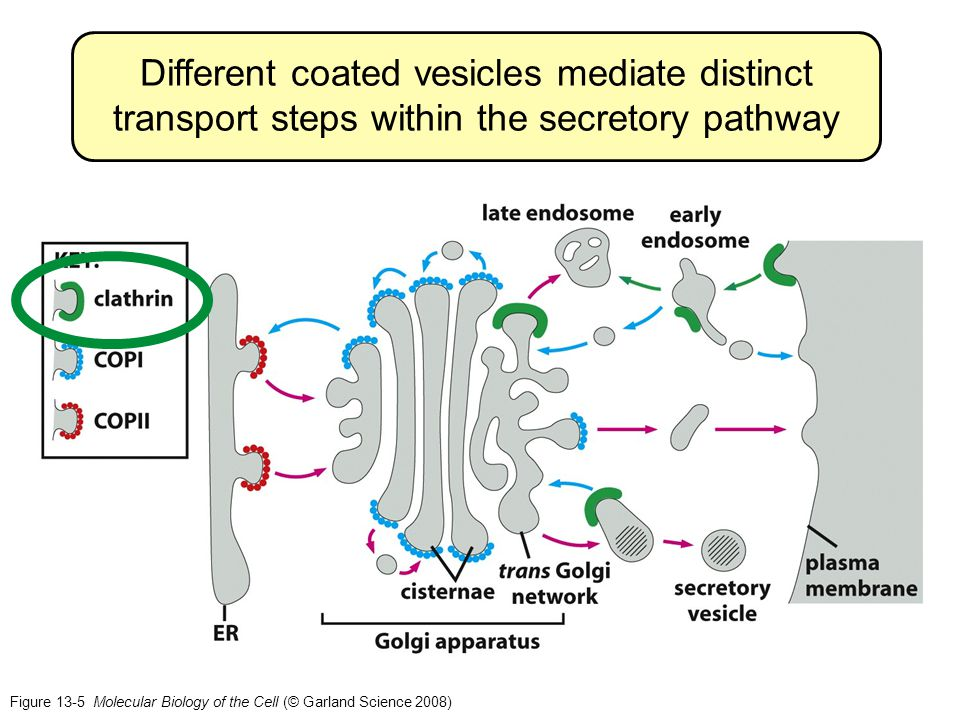 Different coated vesicles mediate distinct transport steps within the secretory pathway