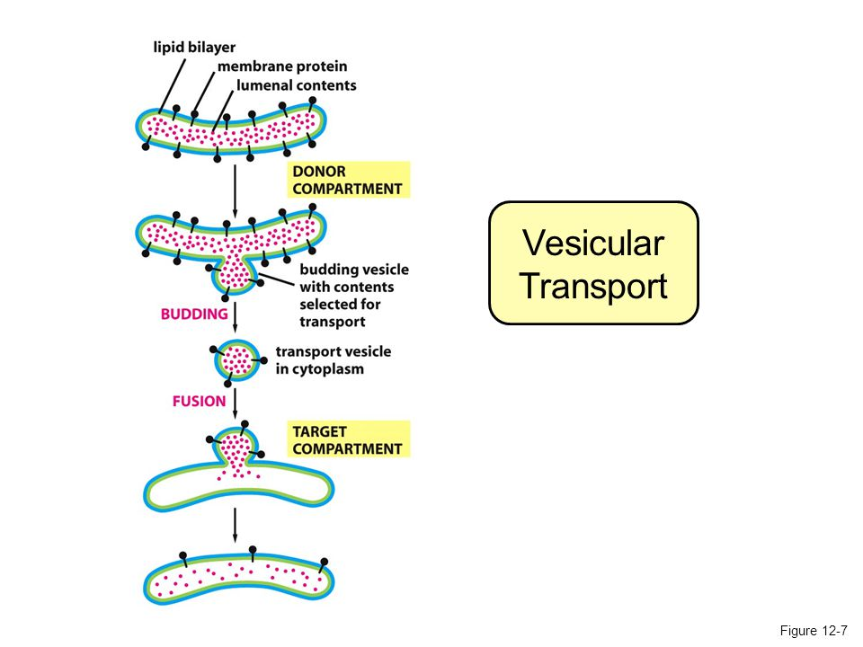Vesicular Transport Figure 12-7