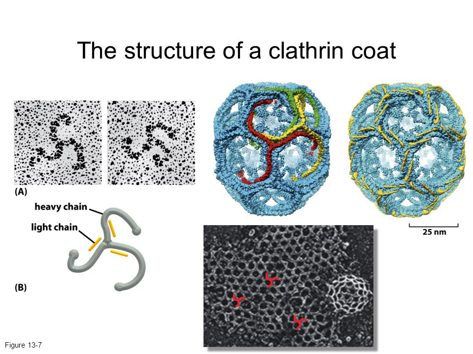 The structure of a clathrin coat