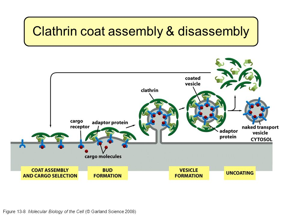Clathrin coat assembly & disassembly