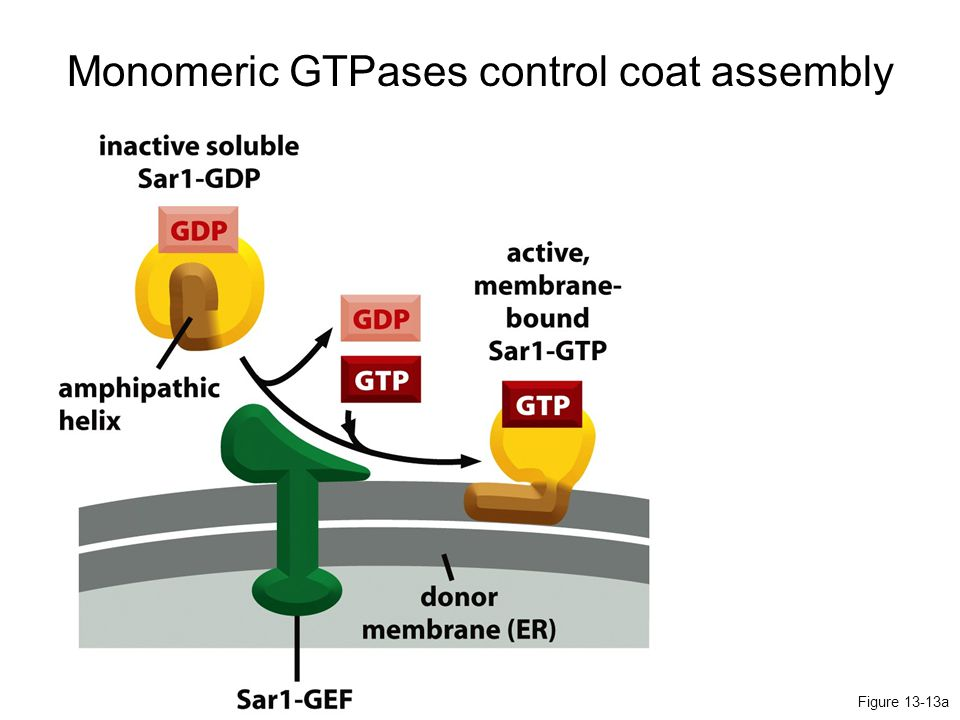 Monomeric GTPases control coat assembly