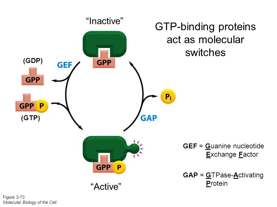GTP-binding proteins act as molecular switches