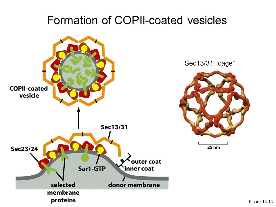 Formation of COPII-coated vesicles