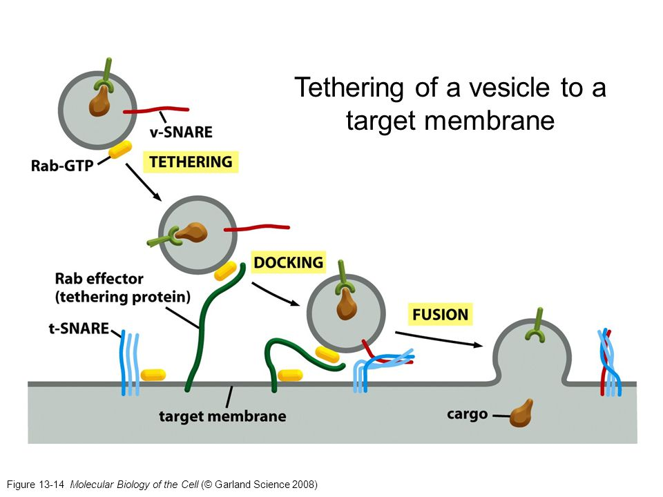 Tethering of a vesicle to a target membrane