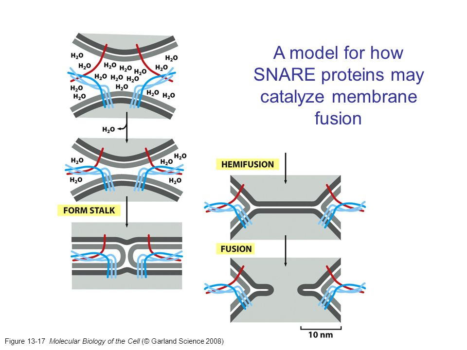 A model for how SNARE proteins may catalyze membrane fusion