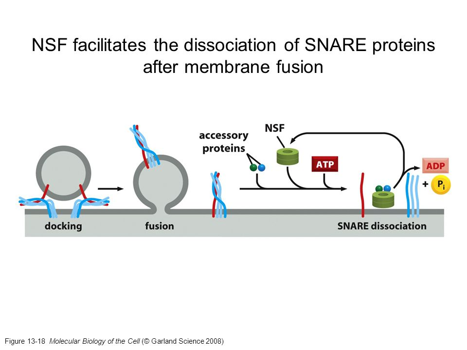 NSF facilitates the dissociation of SNARE proteins after membrane fusion