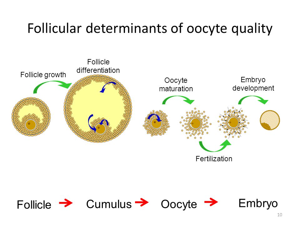 Follicular determinants of oocyte quality