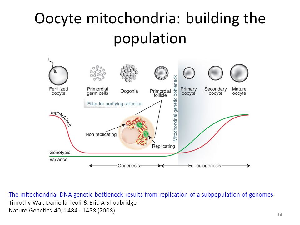 Oocyte mitochondria: building the population