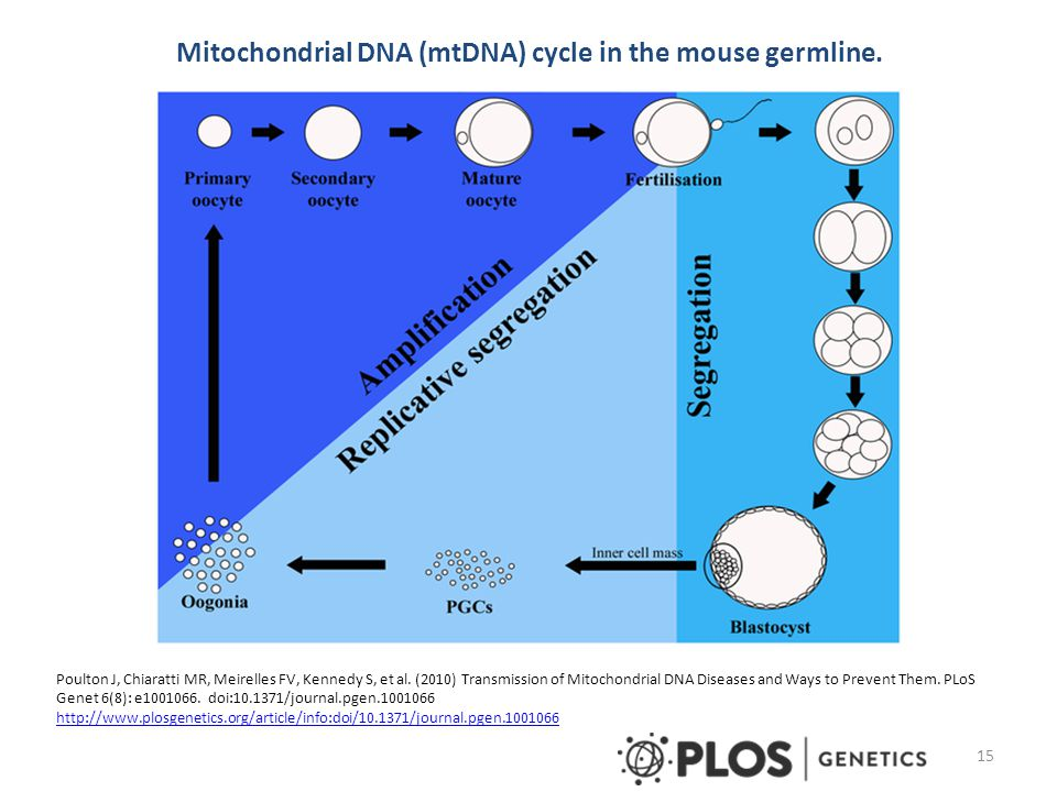 Mitochondrial DNA (mtDNA) cycle in the mouse germline.