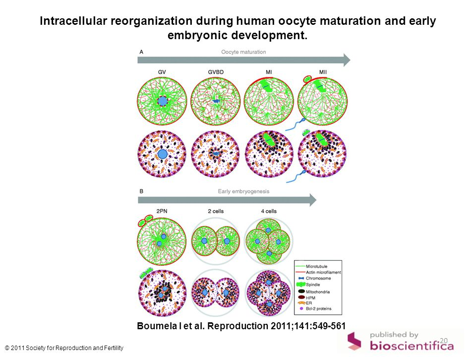 Intracellular reorganization during human oocyte maturation and early embryonic development.