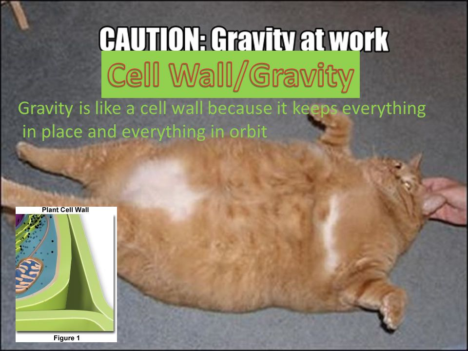 Cell Wall/Gravity Gravity is like a cell wall because it keeps everything.
