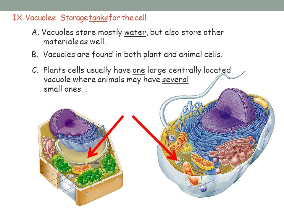 IX. Vacuoles: Storage tanks for the cell.