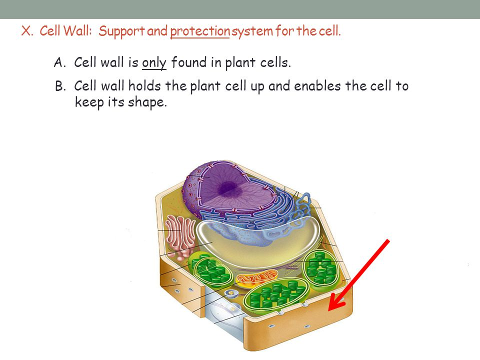 X. Cell Wall: Support and protection system for the cell.