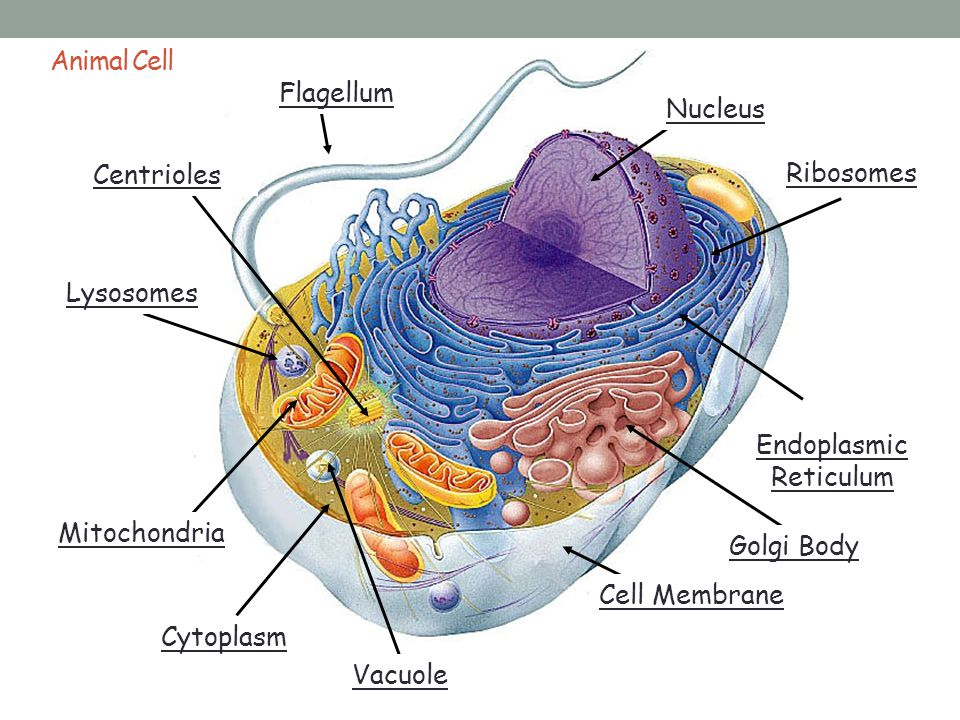 The Cell. - ppt download