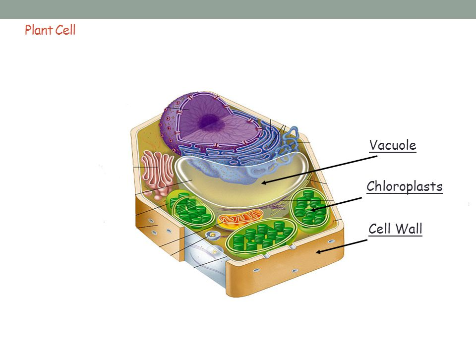 Plant Cell Vacuole Chloroplasts Cell Wall