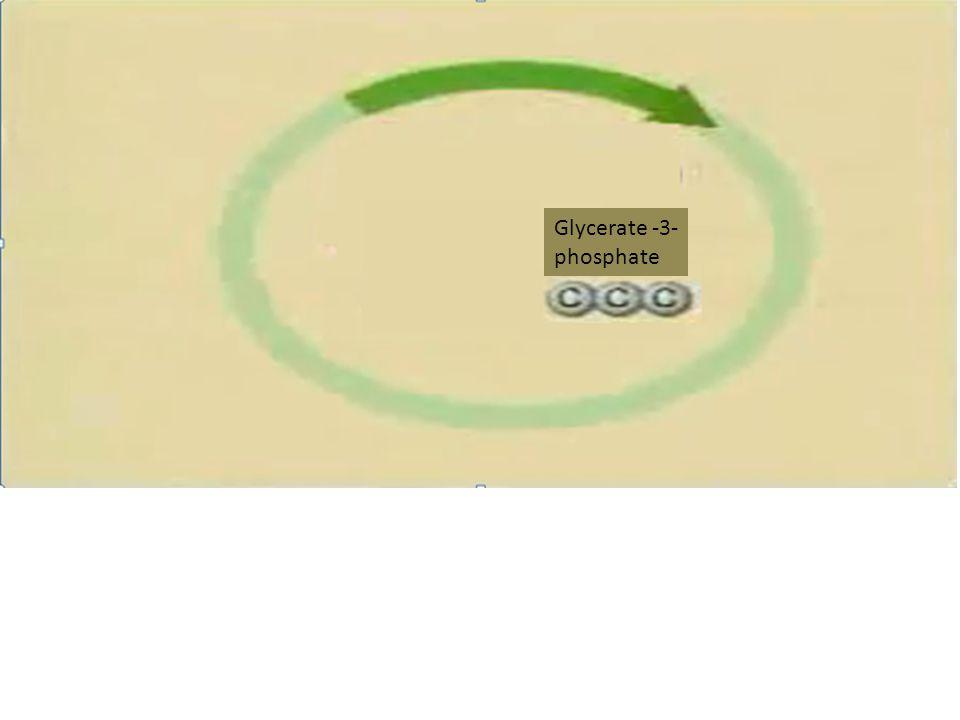 Glycerate -3- phosphate
