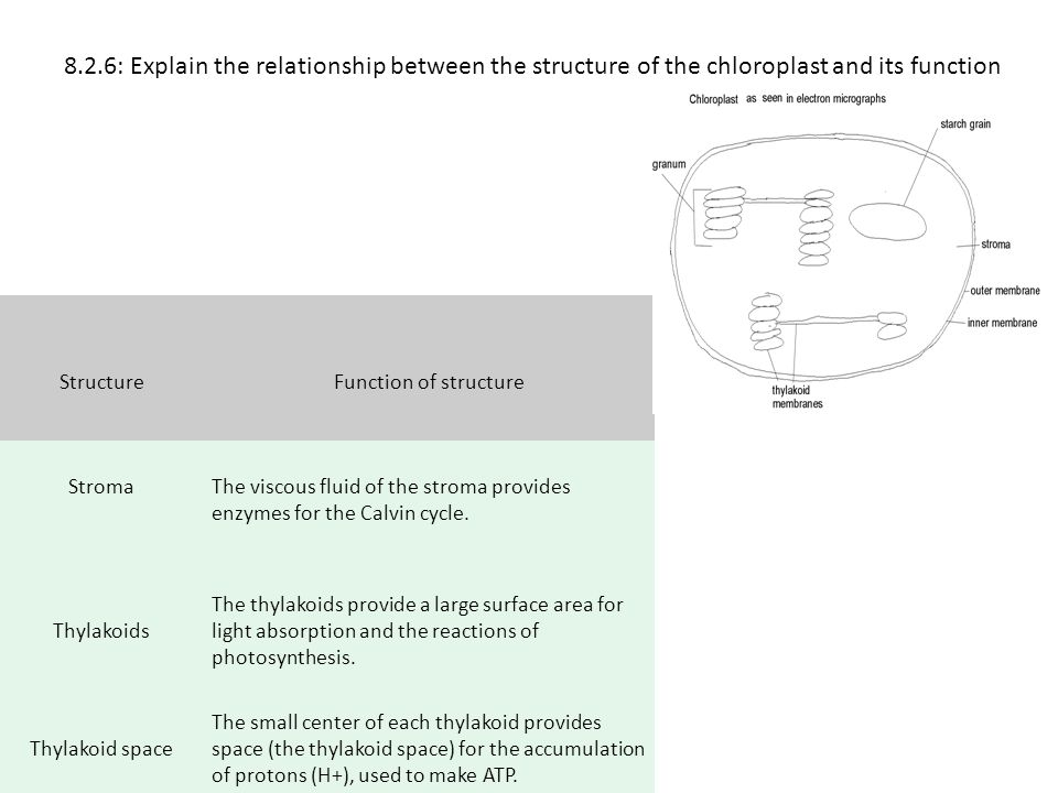 8.2.6: Explain the relationship between the structure of the chloroplast and its function