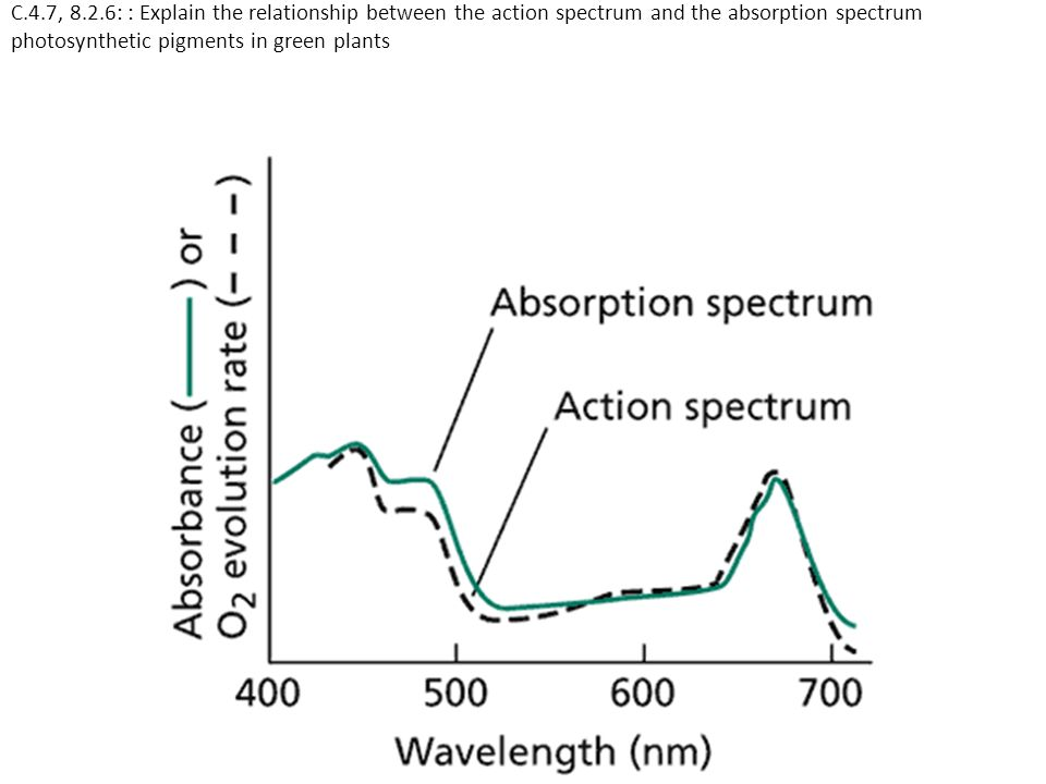 C.4.7, 8.2.6: : Explain the relationship between the action spectrum and the absorption spectrum photosynthetic pigments in green plants