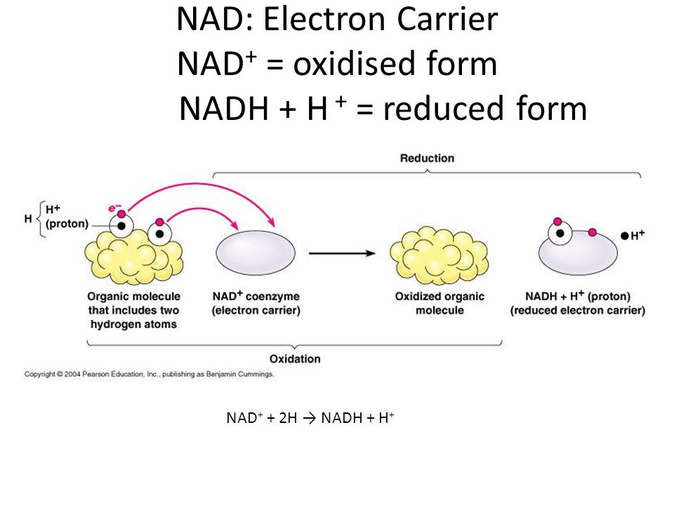 NAD: Electron Carrier NAD+ = oxidised form NADH + H + = reduced form