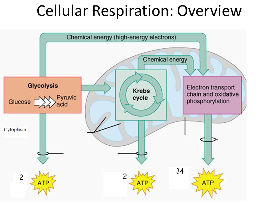 an analysis of the functions of respiration Nervous system: anatomy and function read this page  an example of this is the stretch reflex this reflex functions to protect us from injury.